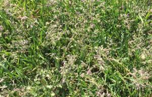 kwiatostany wiechliny łąkowej